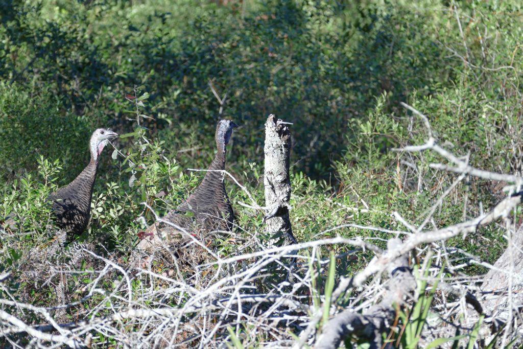 Sonstige Vögel - Truthahn