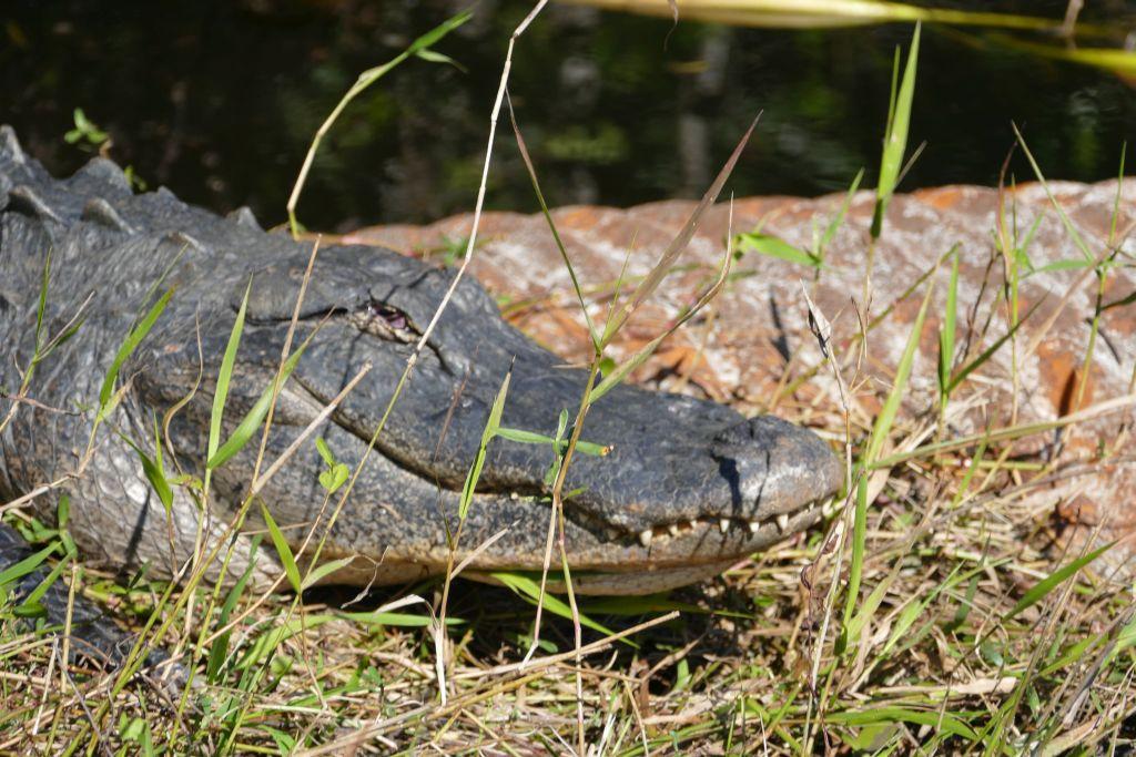 Alligator 12