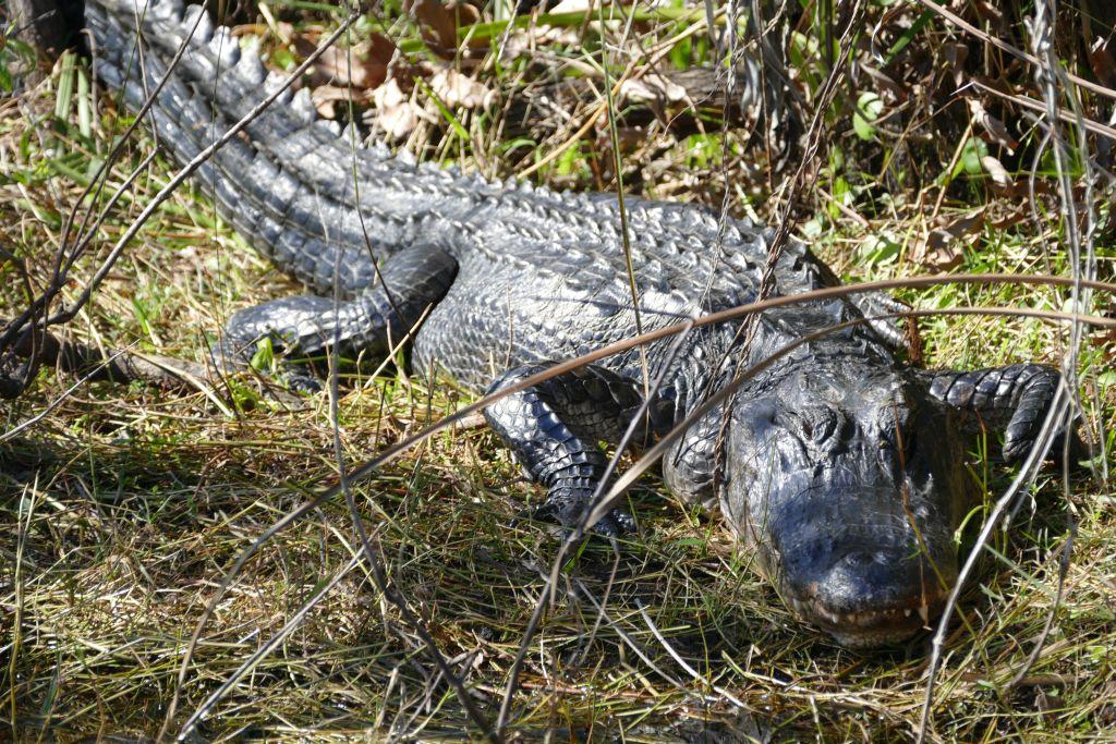 Alligator 14