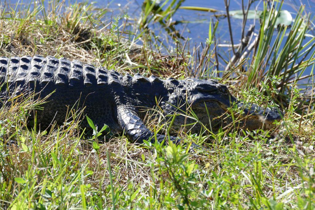 Alligator 15
