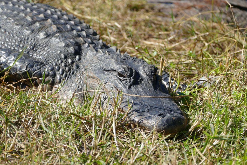 Alligator 17