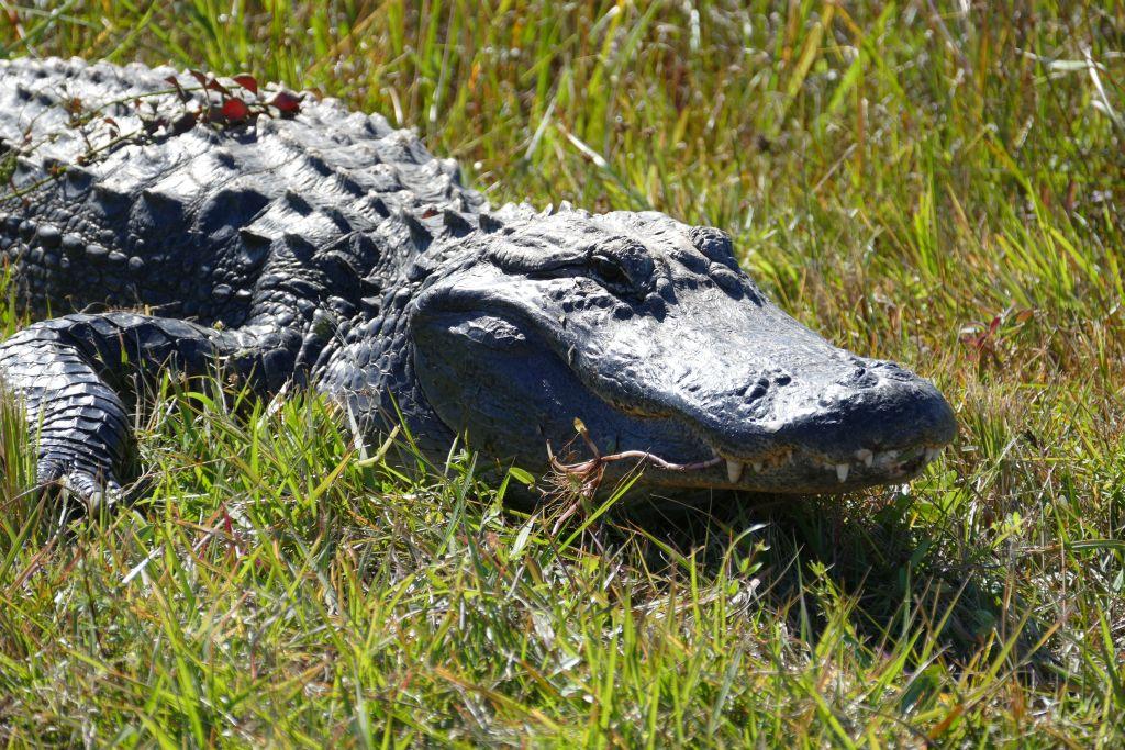 Alligator 18