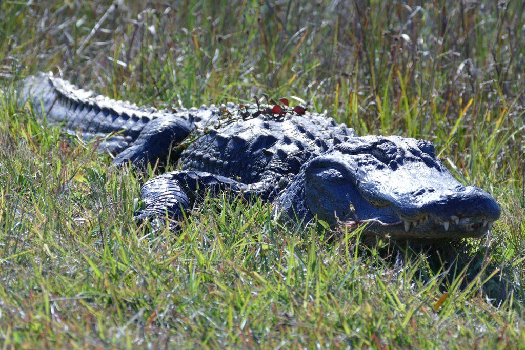 Alligator 19