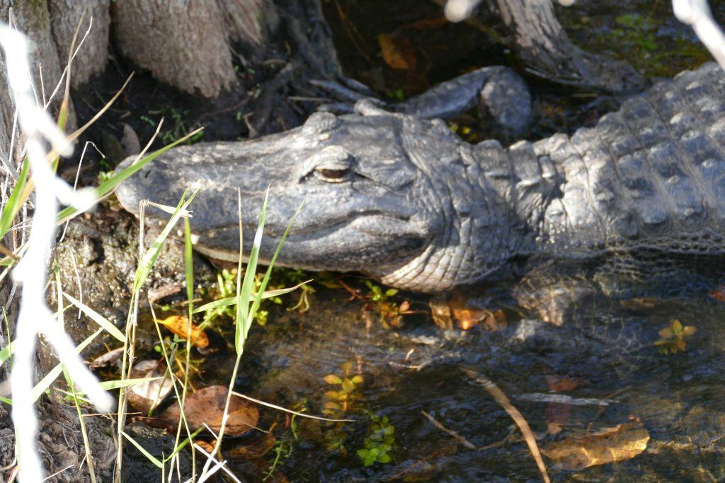 Alligator 23