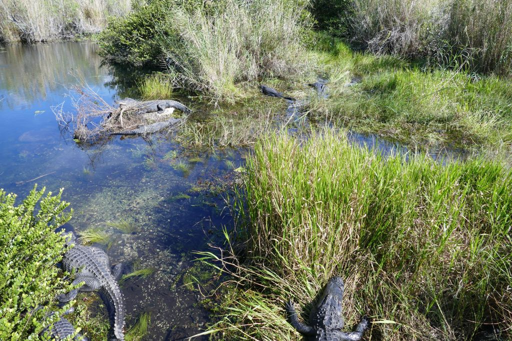 Alligator 24