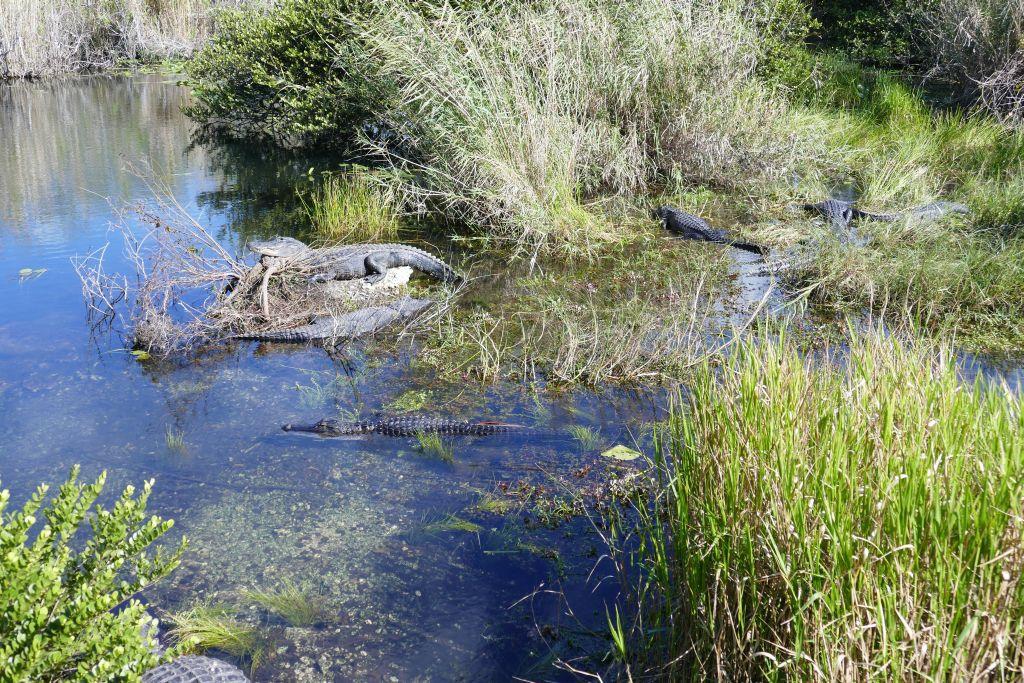 Alligator 25