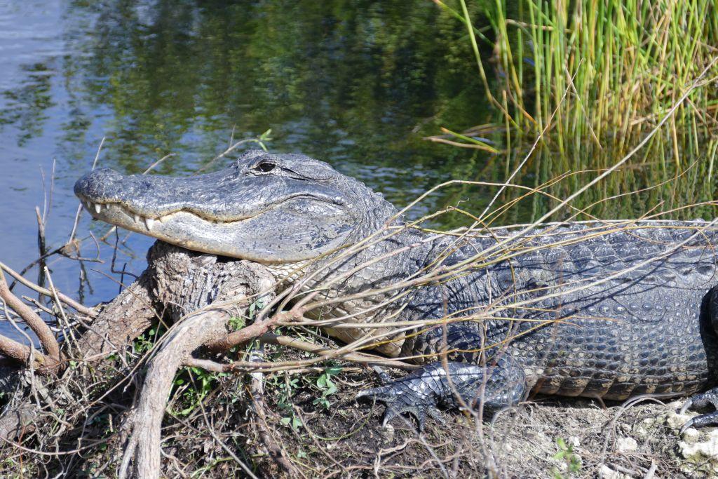 Alligator 26