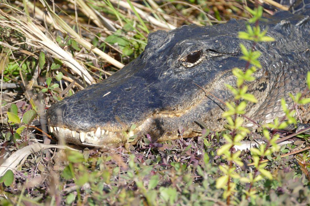 Alligator 27