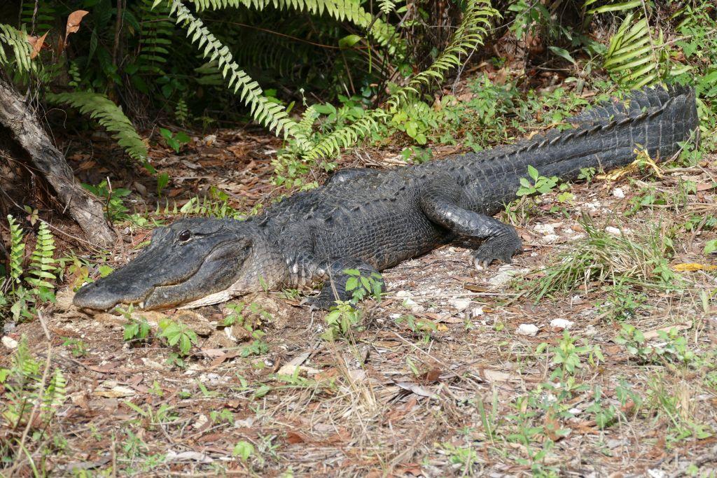 Alligator 29