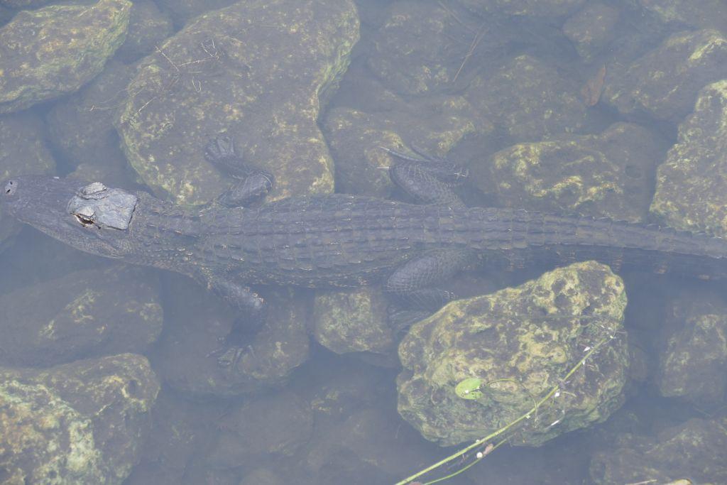 Alligator 30