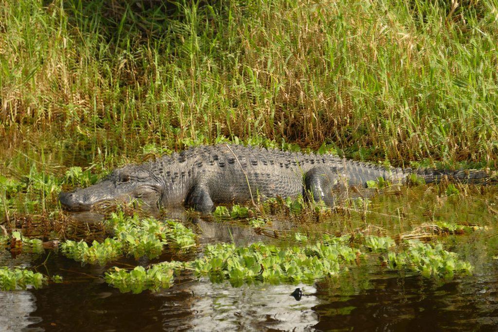 Alligator 31