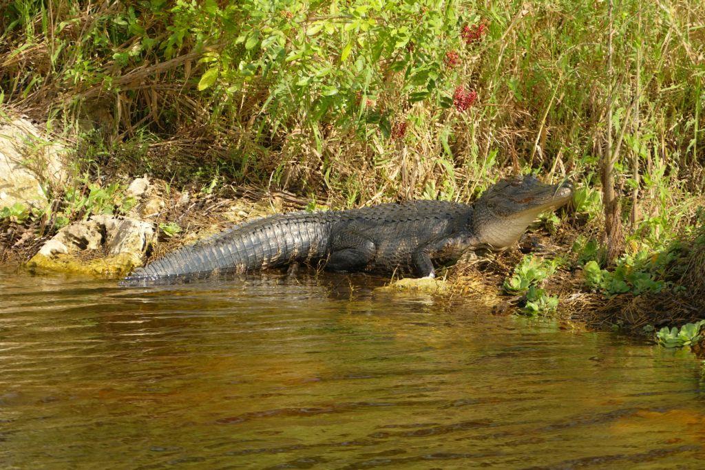 Alligator 34