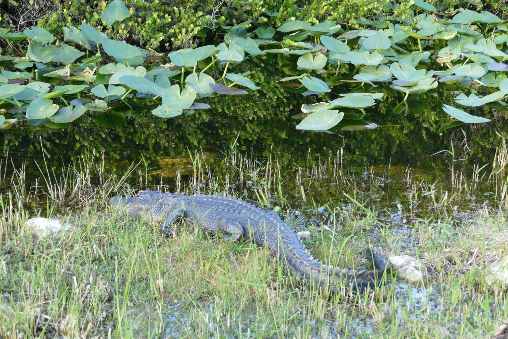 Alligator auf der andern Strassenseite