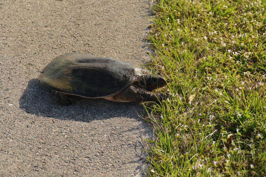 Wasserschildkröte 3