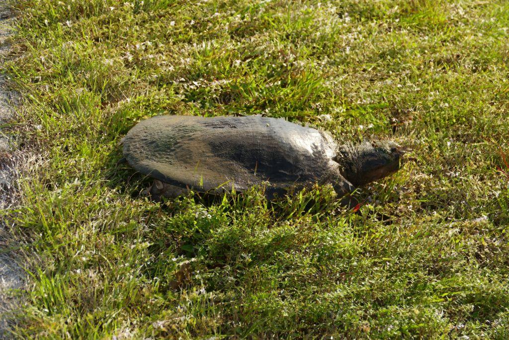Wasserschildkröte 4
