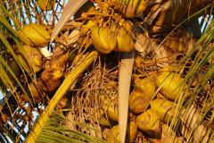 Kokospalme mit Nüssen