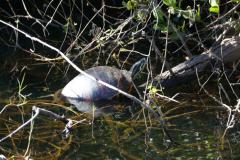 Wasserschildkröte 11