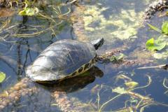 Wasserschildkröte 12