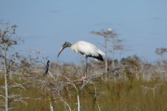 Wood Storks 1