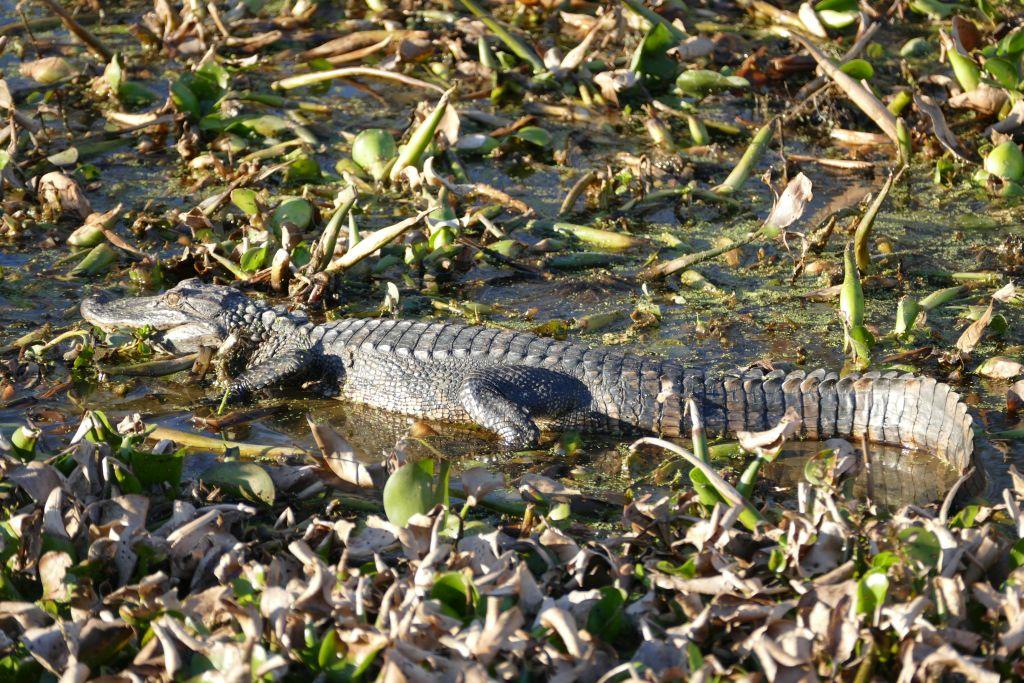 Alligator an der Sonne