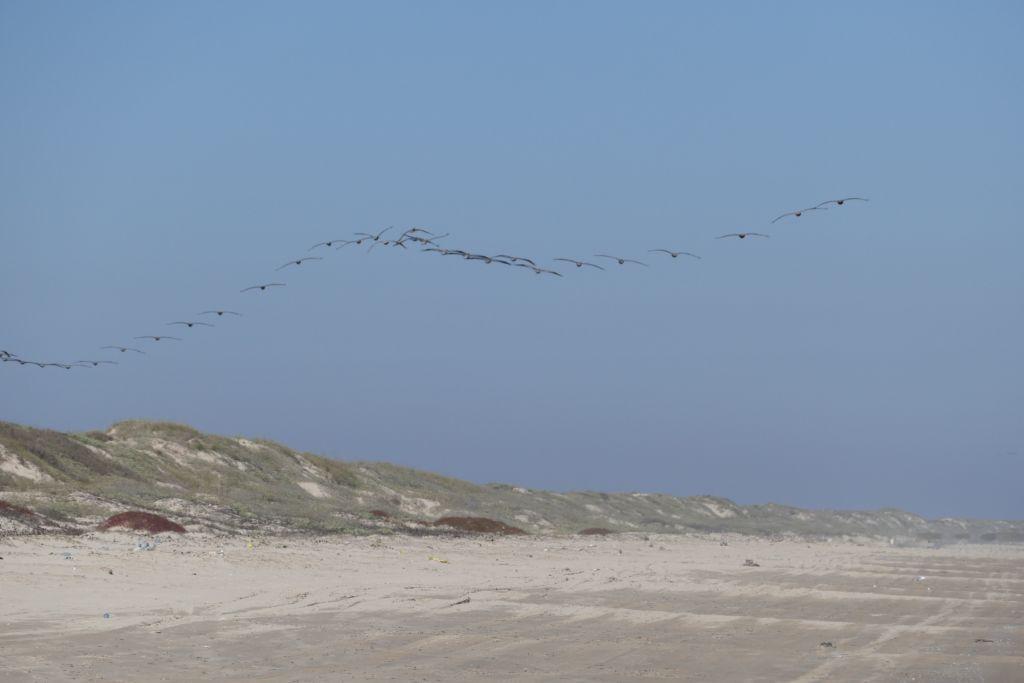 Graupelikane im Formationsflug