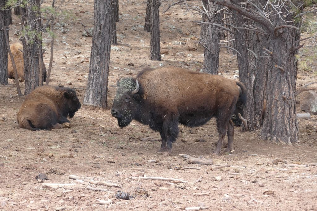 Amerikanischer Bison.jpg