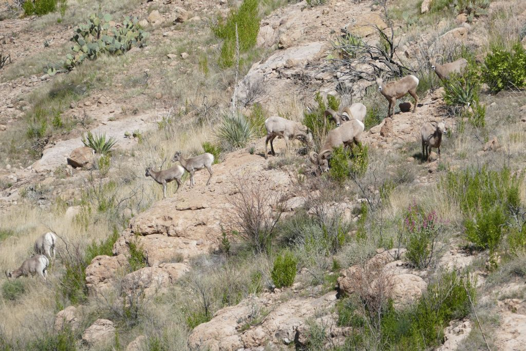 Bighorn Sheep im Tonto Forest.jpg