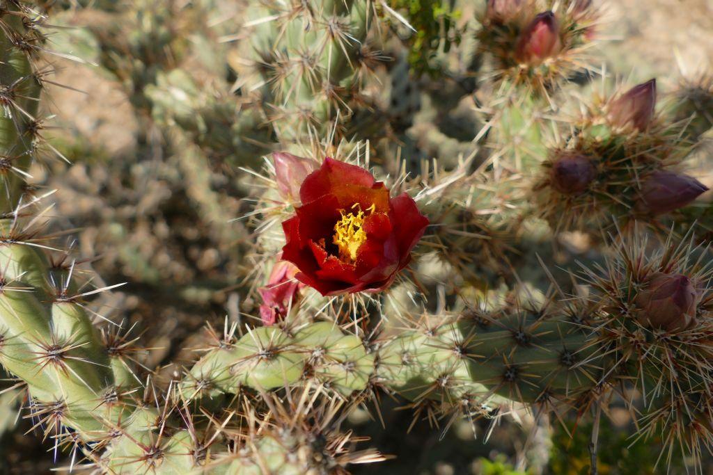 Blühender Cactus 2.jpg