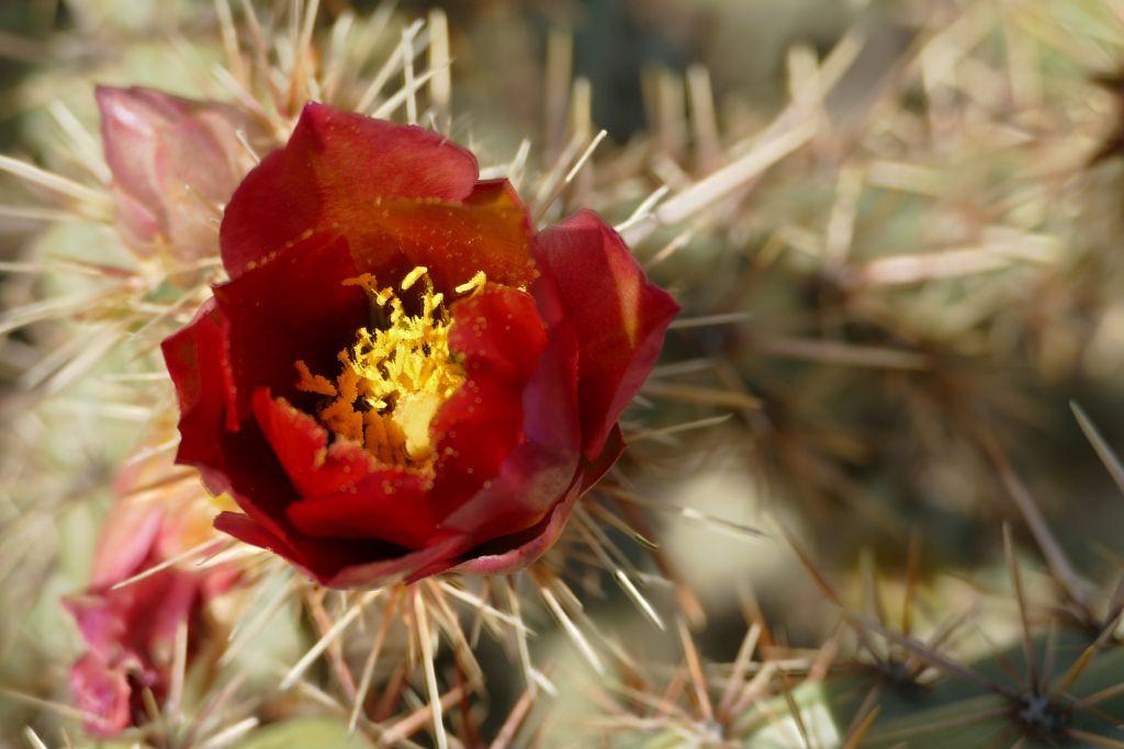 Blühender Cactus 3.jpg