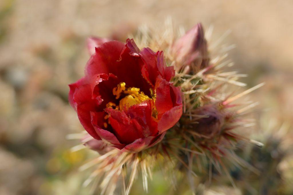 Blühender Cactus 4.jpg