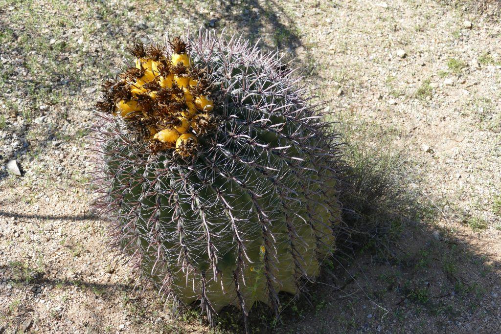 Blühender Cactus 5.jpg