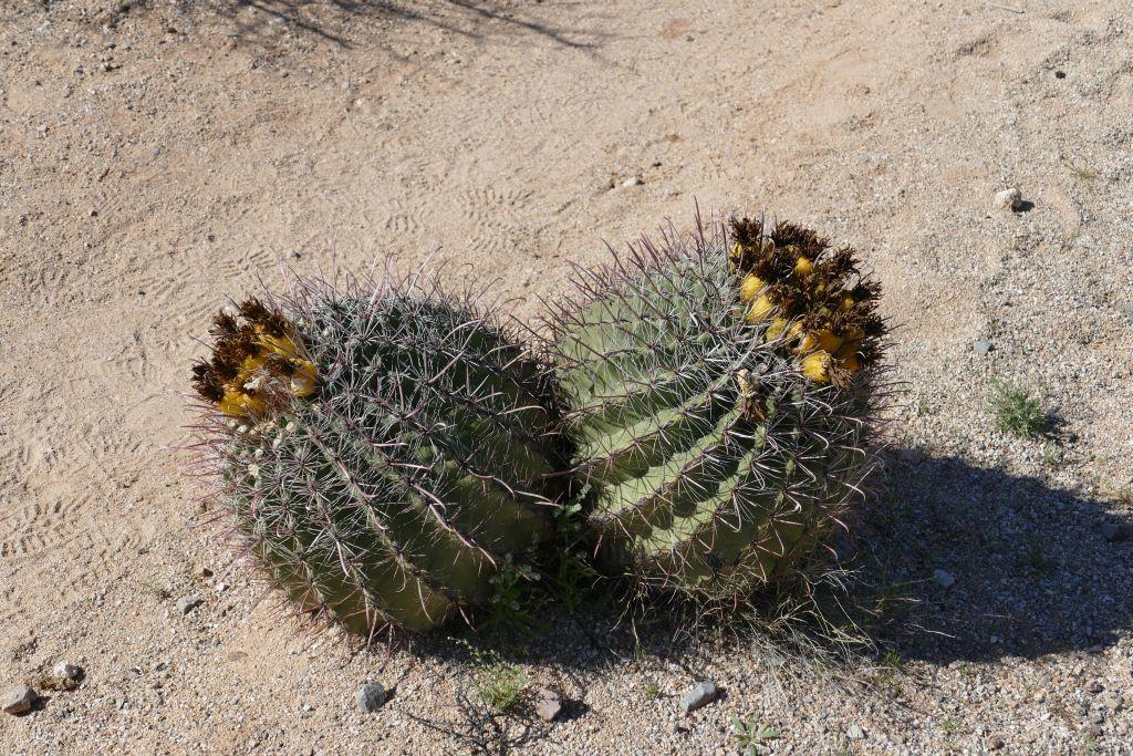 Blühender Cactus 6.jpg