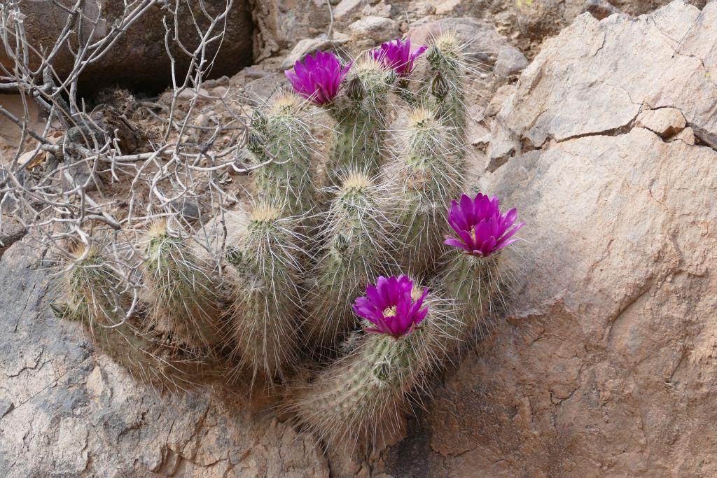 Blühender Kaktus im Tonto Forest.jpg