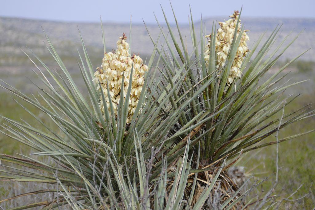 Blühender Kaktus.jpg