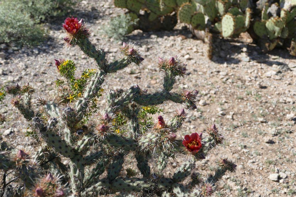 Blühender Cactus 1.jpg