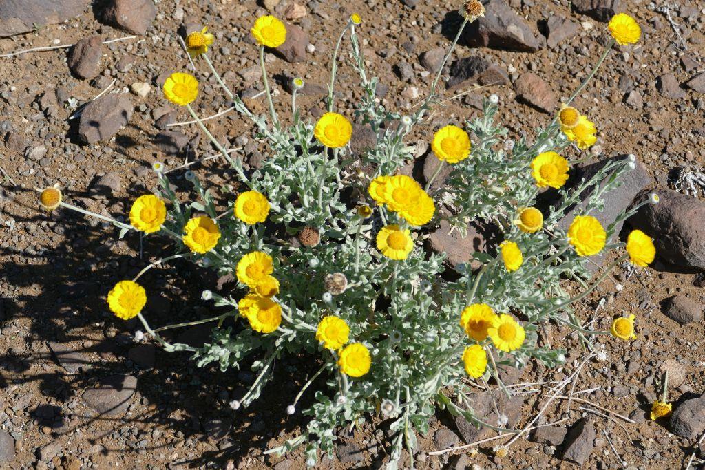 Desert marigold.jpg