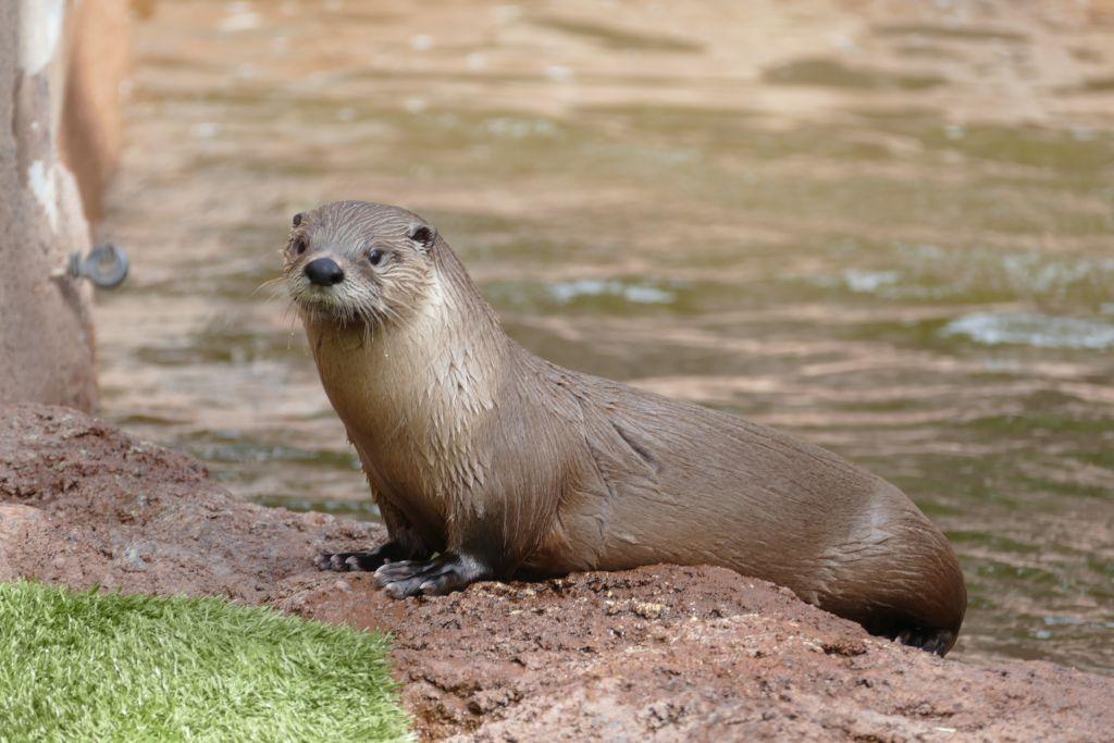 Fluss Otter 1.jpg