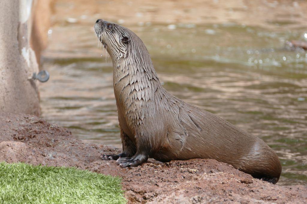 Fluss Otter 2.jpg
