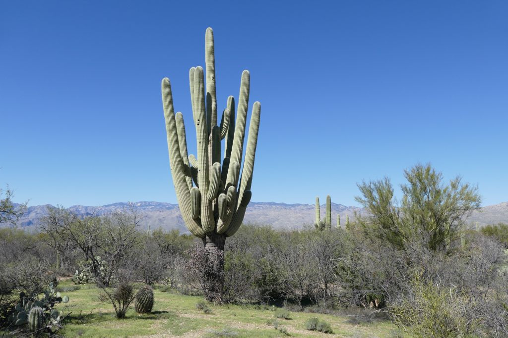 Saguaro 1.jpg