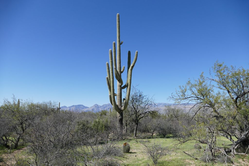 Saguaro 2.jpg