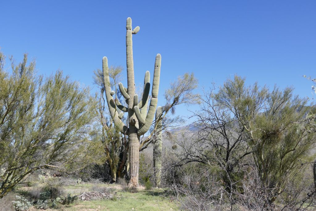 Saguaro 4.jpg