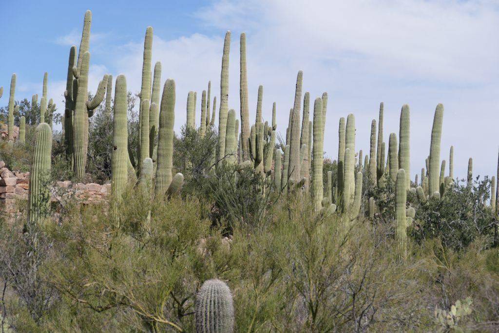 Saguaros 0.jpg