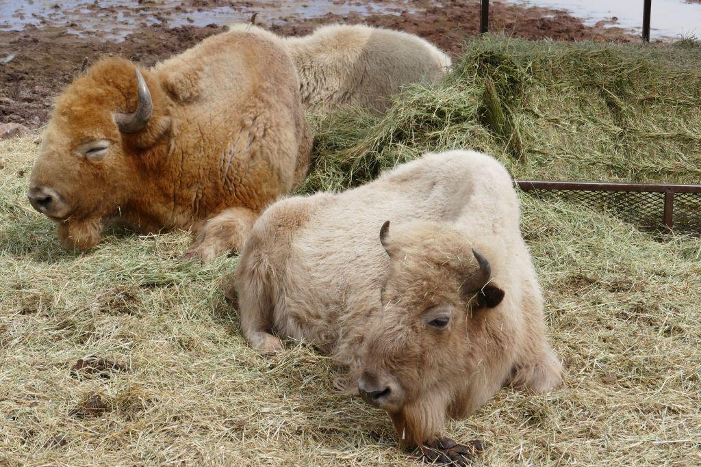 Weisser Bison 1.jpg