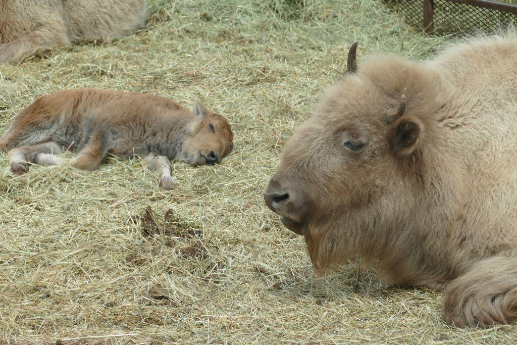 Weisser Bison 2.jpg