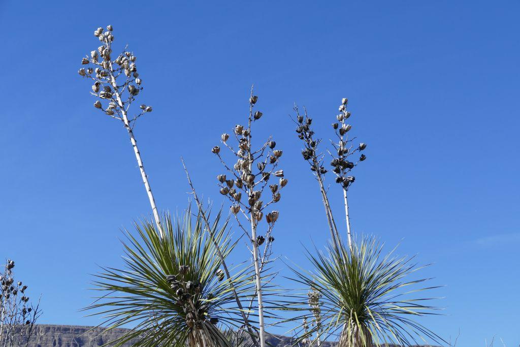 Yucca verblüht.jpg