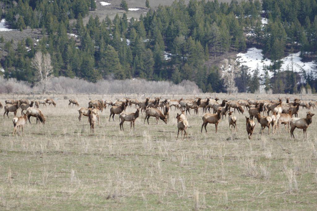 Elk 1.jpg
