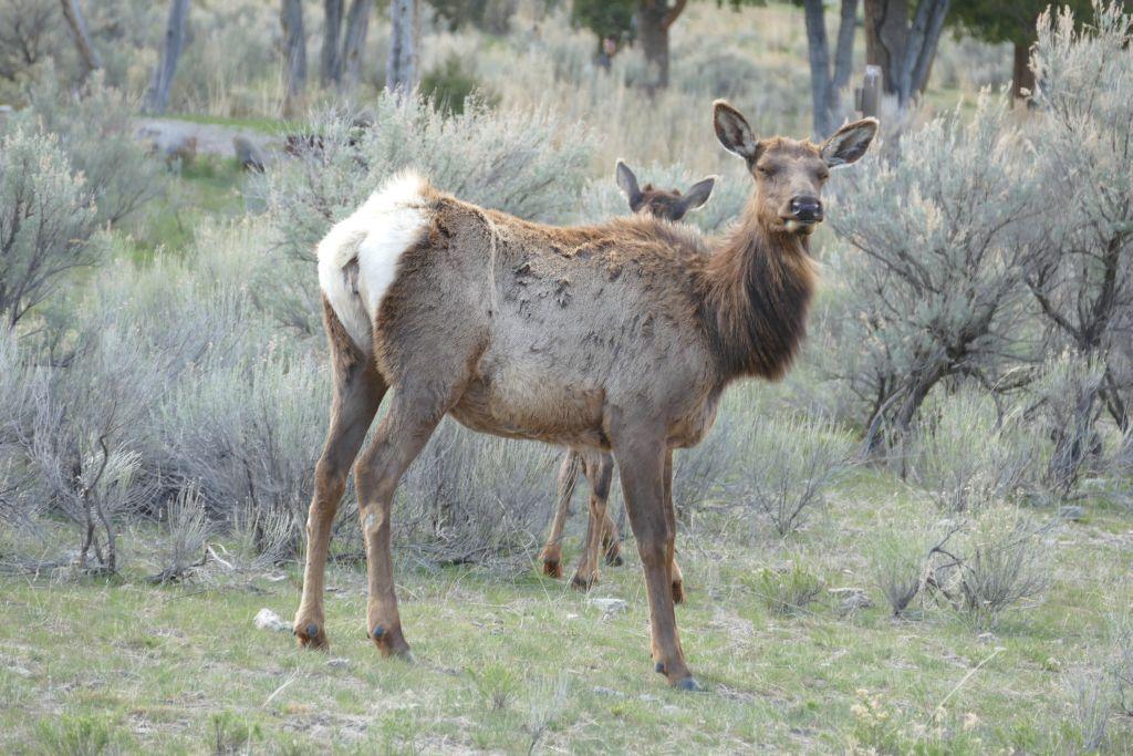 Elk 3.jpg