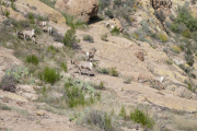 Big Horn Sheep2.jpg