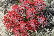 Wüstenblume 2.jpg