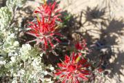 Wüstenblume 1.jpg